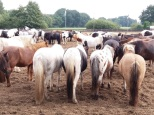 Die Pferde